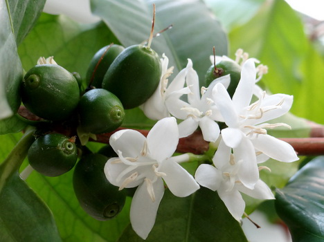 Сорта кофе, арабика, робуста, либерика, кофе, кофейные деревья, кофейные зерна,