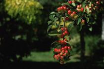 Сорта кофе, арабика, робуста, либерика, кофе, кофейные деревья, кофейные