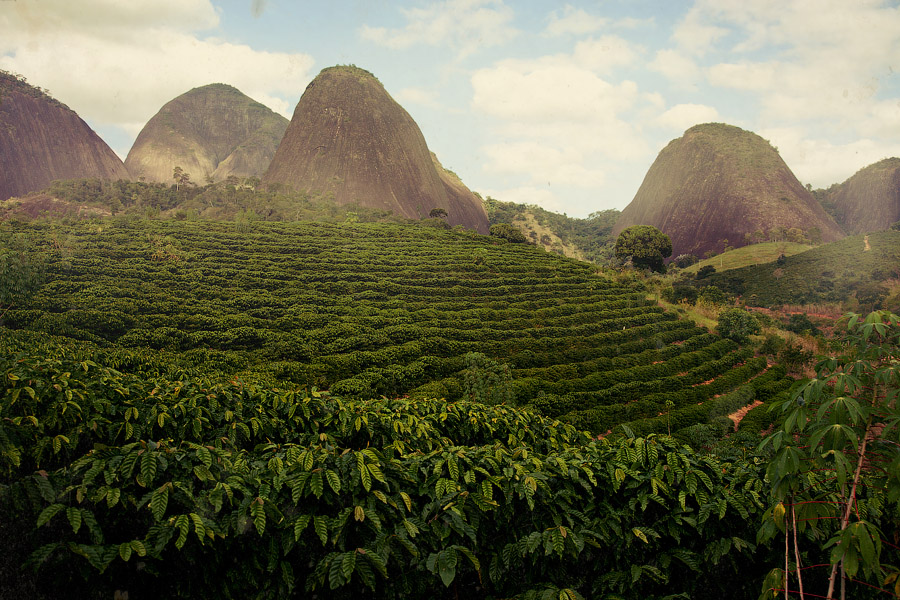 Typica, Сорта кофе, арабика, робуста, coffeetree, арабика, кофе, кофейные зерна, кофейное дерево, аромат кофе, jamaica-blue-mountains, Конголезский зеленый кофе, Bourbon, Catuai, плантации кофе в Бразилии