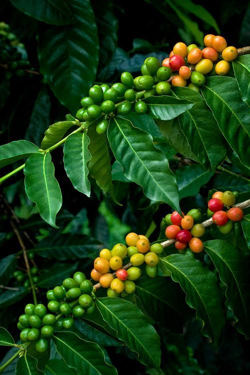 Арабика. Сорта кофе. Арабика. Сорта кофе, Арабика, кофе, происхождение кофе, кофе, Coffee, coffeetrees, кофейные зерна, ароматный напиток, Колумбия, Кения, Эфиопия, Бразилия, Индонезия