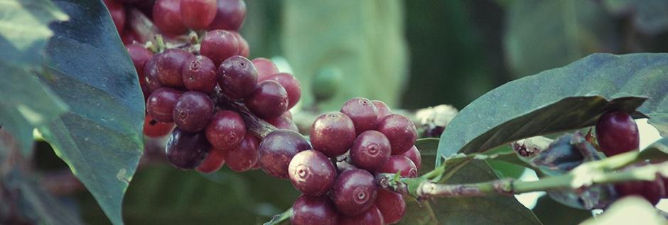 Сорта кофе, арабика, робуста, coffeetree, арабика, кофе, кофейные зерна, кофейное дерево, аромат кофе, jamaica-blue-mountains, Конголезский зеленый кофе