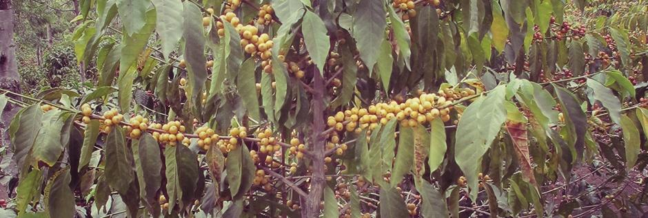 Сорта кофе, арабика, робуста, coffeetree, арабика, кофе, кофейные зерна, кофейное дерево, аромат кофе, jamaica-blue-mountains, Конголезский зеленый кофе, Bourbon, Catuai