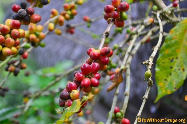 Робуста, виды кофе, разновидности кофе, сорта кофе, крепкий кофе, растворимый кофе. Арабика, Либерика, Эксцельза, Эспрессо, кофейное дерево, Канефора. Конго, Бразилия, Ява, капучино, латте, американо, американо с корицей, латте макиато, кофе, всемирная история кофе, происхождение кофе, кофейня, кофейный дом, Coffee, coffeetrees, история кофе, рождение традиций, кофейные зерна, ароматный напиток, бодрящий, тонизирующий.