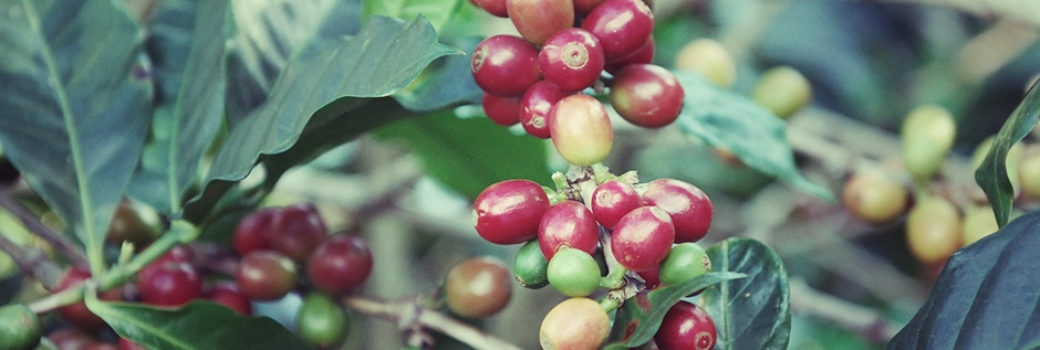 Typica, Сорта кофе, арабика, робуста, coffeetree, арабика, кофе, кофейные зерна, кофейное дерево, аромат кофе, jamaica-blue-mountains, Конголезский зеленый кофе, Bourbon, Catuai