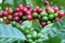 Арабика. Сорта кофе.Арабика. Сорта кофе, Арабика, кофе, происхождение кофе, кофе, Coffee, coffeetrees, кофейные зерна, ароматный напиток, Колумбия, Кения, Эфиопия, Бразилия, Индонезия.